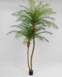 Phoenix palm (1164-240)