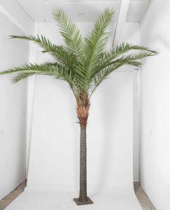 Phoenix canarie palm(1213-360)