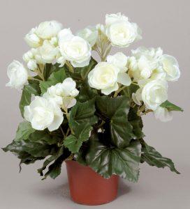 Begonia (156-1-01)