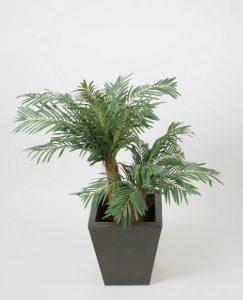 Cycas palm (62-090)