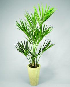 Kentia palm (65-090)