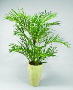 Areca palm(66-120)