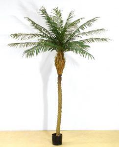 Phoenix palm (67-150)