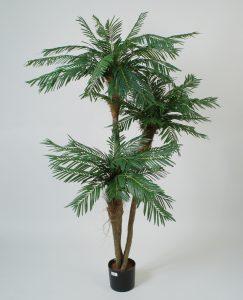 Cycas palm (68-190)