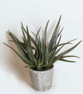 Aloe (2324)