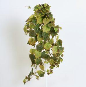 Cissus Autumn (122g)
