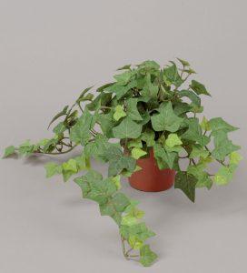 English Ivy (197-1-92)