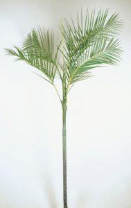 Kentia Palm (4024)