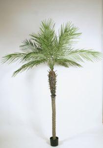 Phoenix Palm (4082)