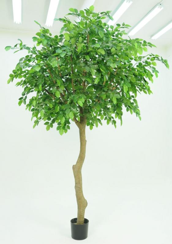 Beech Tree (1350-350)