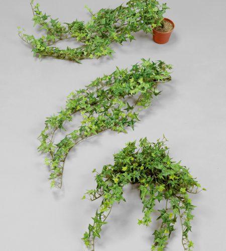 Finger Ivy (121GPP)